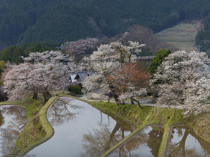 三多気の桜_2013yaotomi_7s.jpg