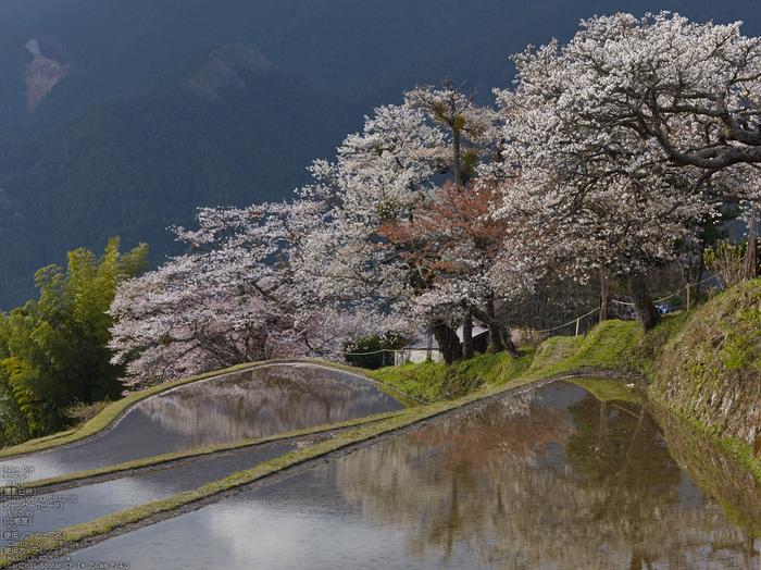 三多気の桜_2013yaotomi_8s.jpg