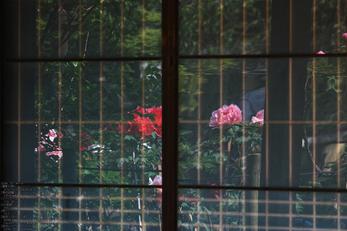 乙訓寺の牡丹_2013yaotomi_27s.jpg