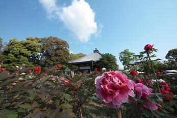 乙訓寺の牡丹_2013yaotomi_5s.jpg