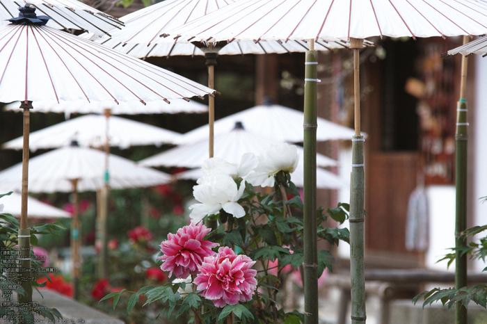 乙訓寺の牡丹_2013yaotomi_8s.jpg