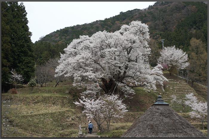 仏隆寺千年桜_K5IIs_2013yaotomi_1st.jpg