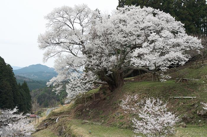 仏隆寺千年桜_K5IIs_2013yaotomi_3s.jpg