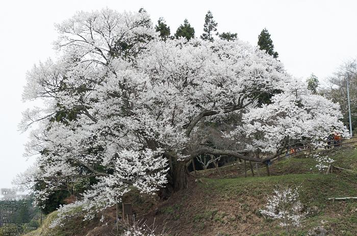 仏隆寺千年桜_K5IIs_2013yaotomi_5s.jpg
