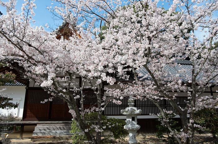 光明寺の桜_2013yaotomi_12s.jpg