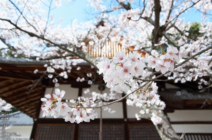 光明寺の桜_2013yaotomi_15s.jpg
