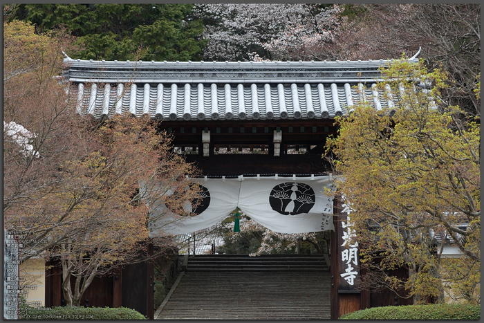 光明寺の桜_2013yaotomi_1st.jpg