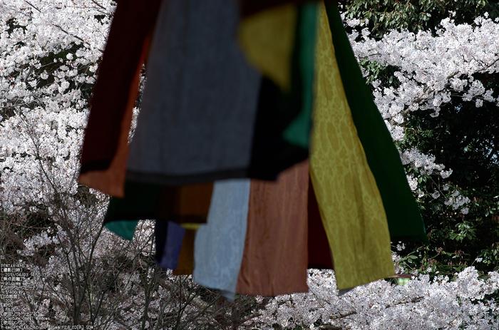 光明寺の桜_2013yaotomi_21s.jpg