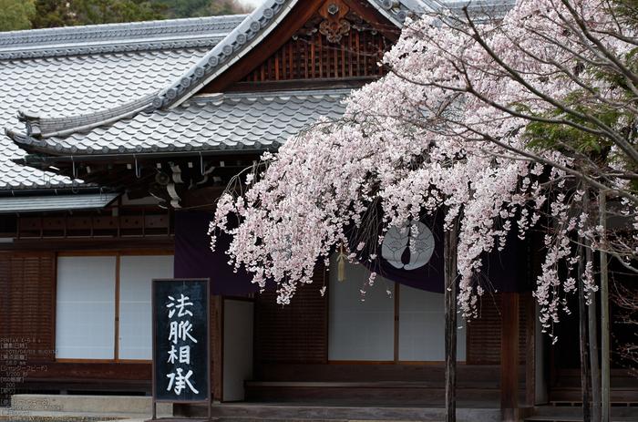 光明寺の桜_2013yaotomi_25s.jpg
