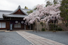 光明寺の桜_2013yaotomi_26s.jpg