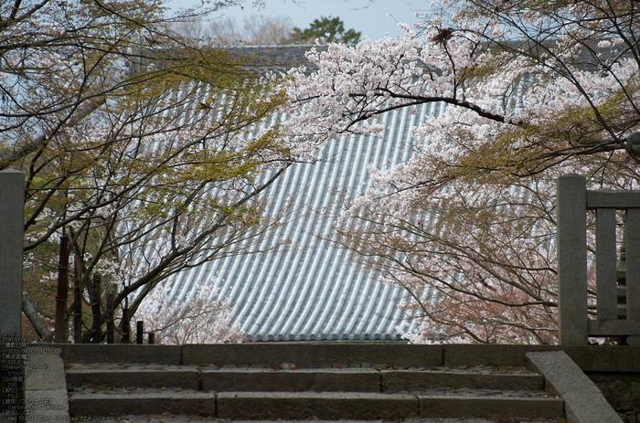 光明寺の桜_2013yaotomi_7s.jpg