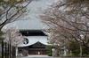 光明寺の桜_2013yaotomi_8f.jpg