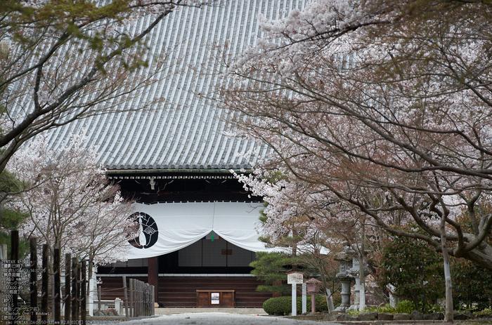 光明寺の桜_2013yaotomi_8s.jpg