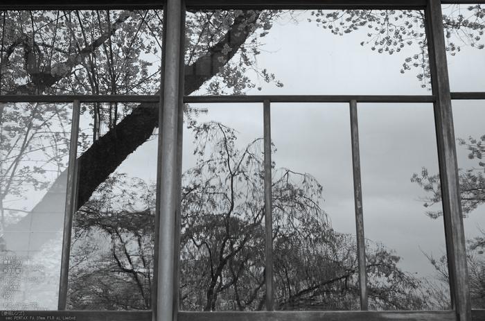 勝持寺(花の寺)の桜_2013yaotomi_10s.jpg