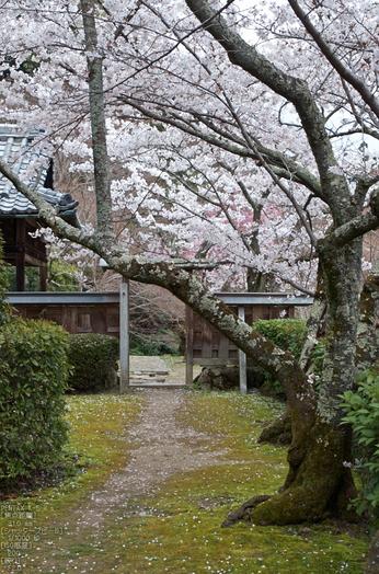 勝持寺(花の寺)の桜_2013yaotomi_12s.jpg
