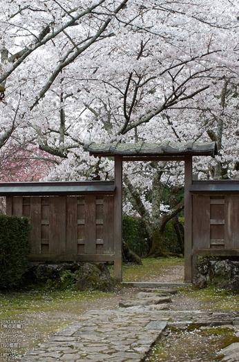 勝持寺(花の寺)の桜_2013yaotomi_15s.jpg