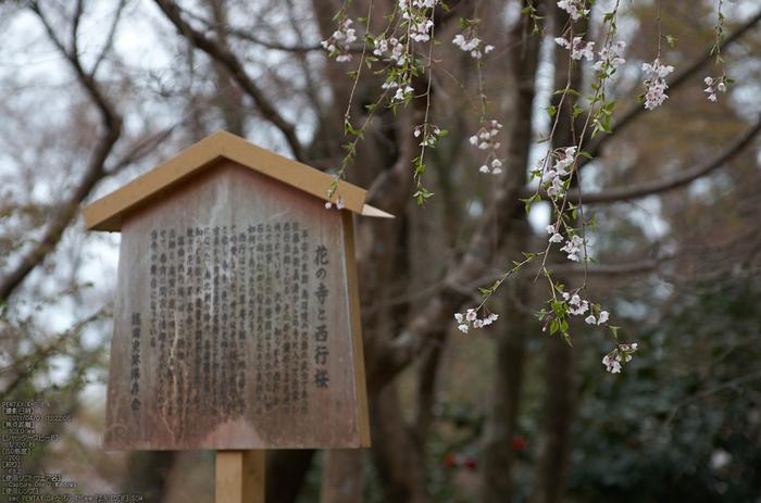 勝持寺(花の寺)の桜_2013yaotomi_17s.jpg