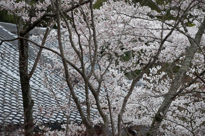 勝持寺(花の寺)の桜_2013yaotomi_18s.jpg
