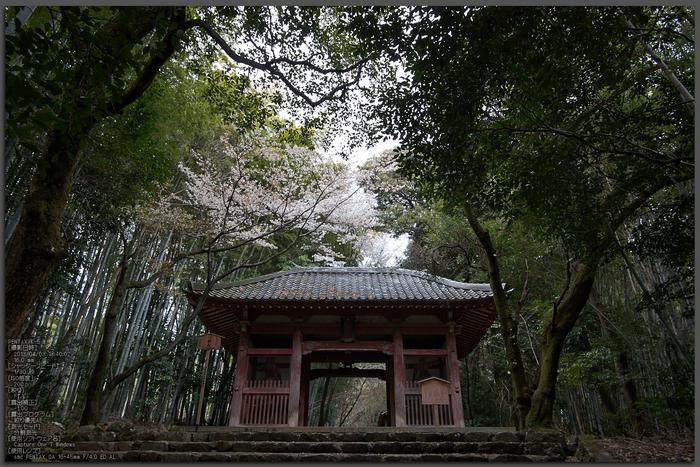 勝持寺(花の寺)の桜_2013yaotomi_1st.jpg