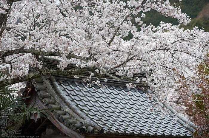 勝持寺(花の寺)の桜_2013yaotomi_20s.jpg