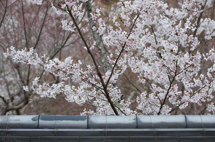 勝持寺(花の寺)の桜_2013yaotomi_22s.jpg