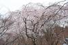勝持寺(花の寺)の桜_2013yaotomi_25s.jpg