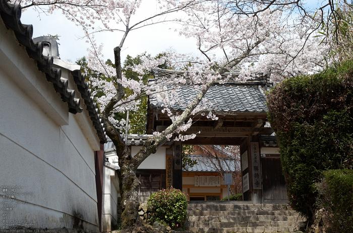 勝持寺(花の寺)の桜_2013yaotomi_2s.jpg