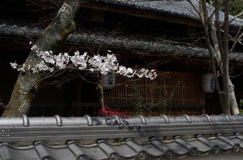 勝持寺(花の寺)の桜_2013yaotomi_5s.jpg