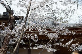 勝持寺(花の寺)の桜_2013yaotomi_6s.jpg