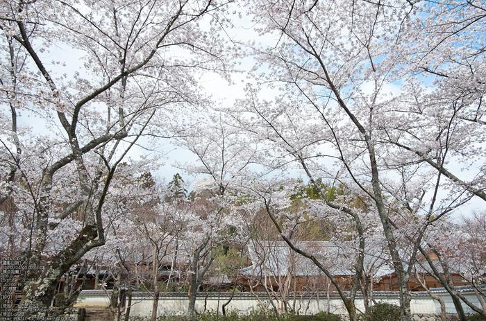 勝持寺(花の寺)の桜_2013yaotomi_7s.jpg