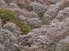 吉野山(下千本)_2013yaotomi_13f.jpg