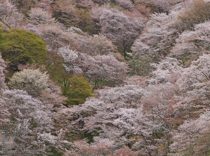 吉野山(下千本)_2013yaotomi_13s.jpg