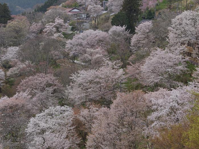 吉野山(下千本)_2013yaotomi_2s.jpg