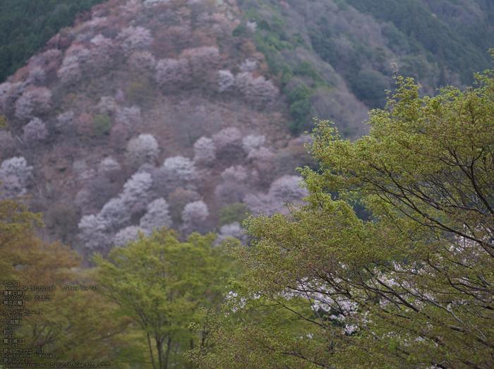 吉野山(下千本)_2013yaotomi_3s.jpg