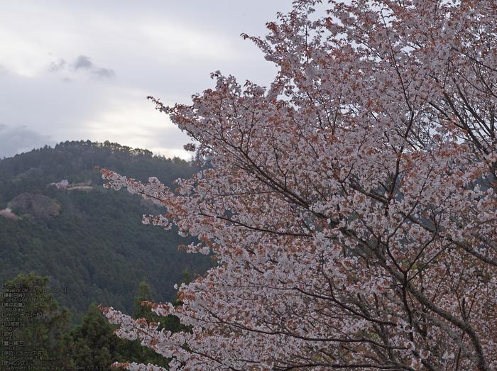 吉野山(下千本)_2013yaotomi_5s.jpg