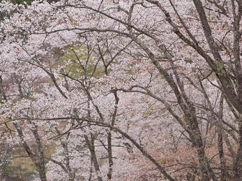 吉野山(下千本)_2013yaotomi_6s.jpg