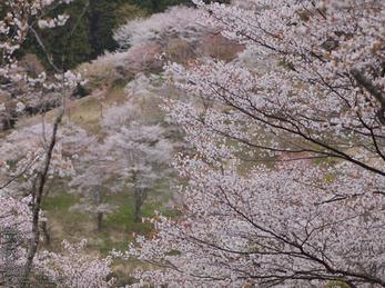 吉野山(下千本)_2013yaotomi_7s.jpg