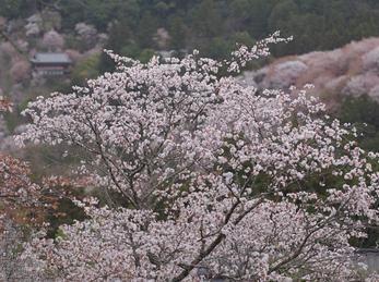 吉野山(下千本)_2013yaotomi_8s.jpg