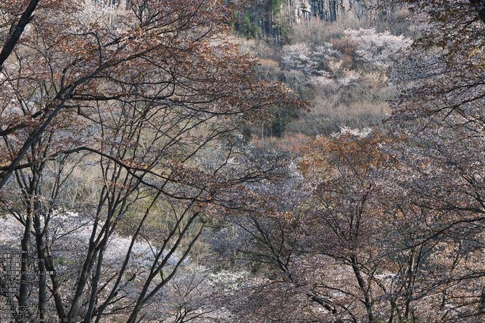屏風岩公園の桜(SD1m)_2013yaotomi_12s.jpg