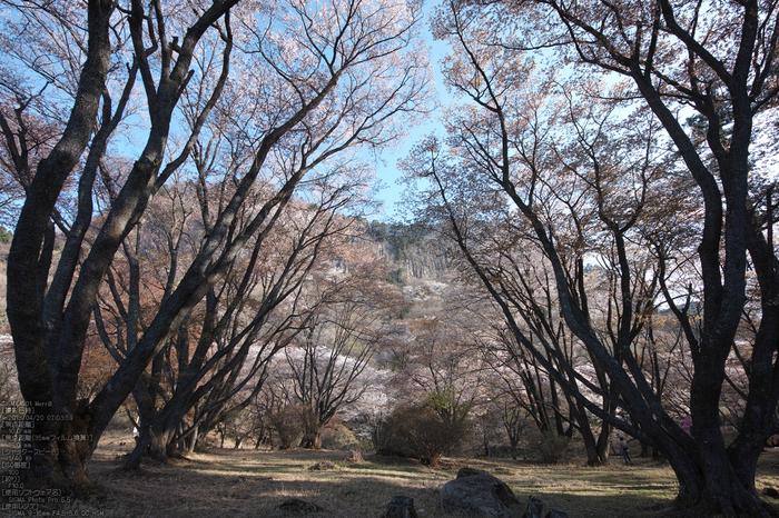屏風岩公園の桜(SD1m)_2013yaotomi_13s.jpg
