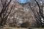 屏風岩公園の桜(SD1m)_2013yaotomi_21f.jpg