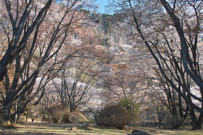屏風岩公園の桜(SD1m)_2013yaotomi_21s.jpg