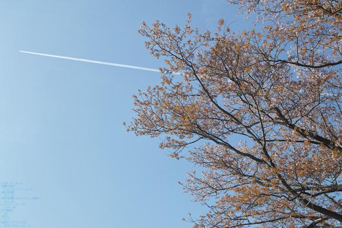 屏風岩公園の桜(SD1m)_2013yaotomi_27s.jpg