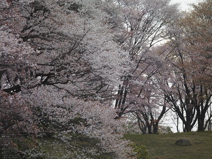 屏風岩公苑の桜_2013yaotomi_15s.jpg