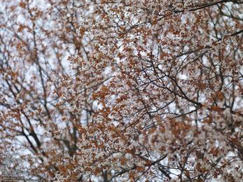 屏風岩公苑の桜_2013yaotomi_16s.jpg