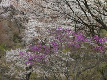 屏風岩公苑の桜_2013yaotomi_17s.jpg