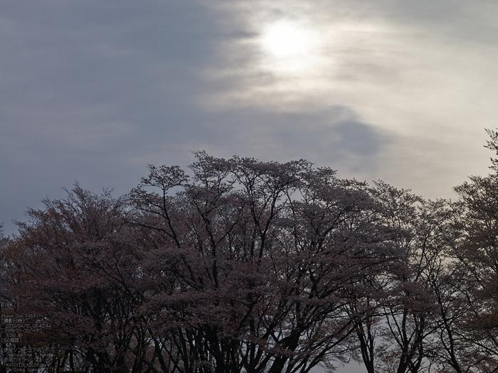 屏風岩公苑の桜_2013yaotomi_18s.jpg
