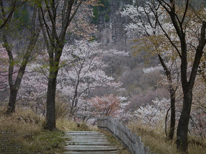 屏風岩公苑の桜_2013yaotomi_23s.jpg