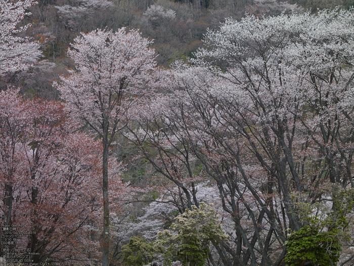 屏風岩公苑の桜_2013yaotomi_25s.jpg