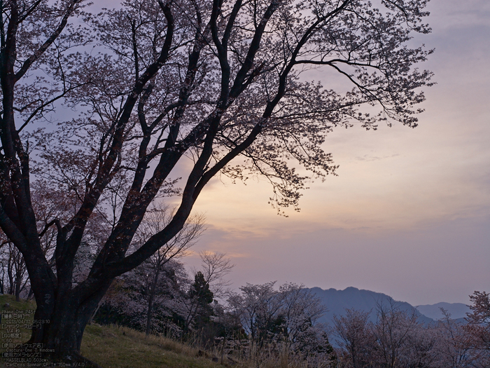 屏風岩公苑の桜_2013yaotomi_5s.jpg